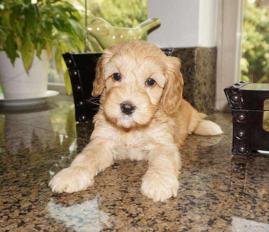 Photo of my dog Winnie as an apricot-colored labradoodle puppy sitting on a table