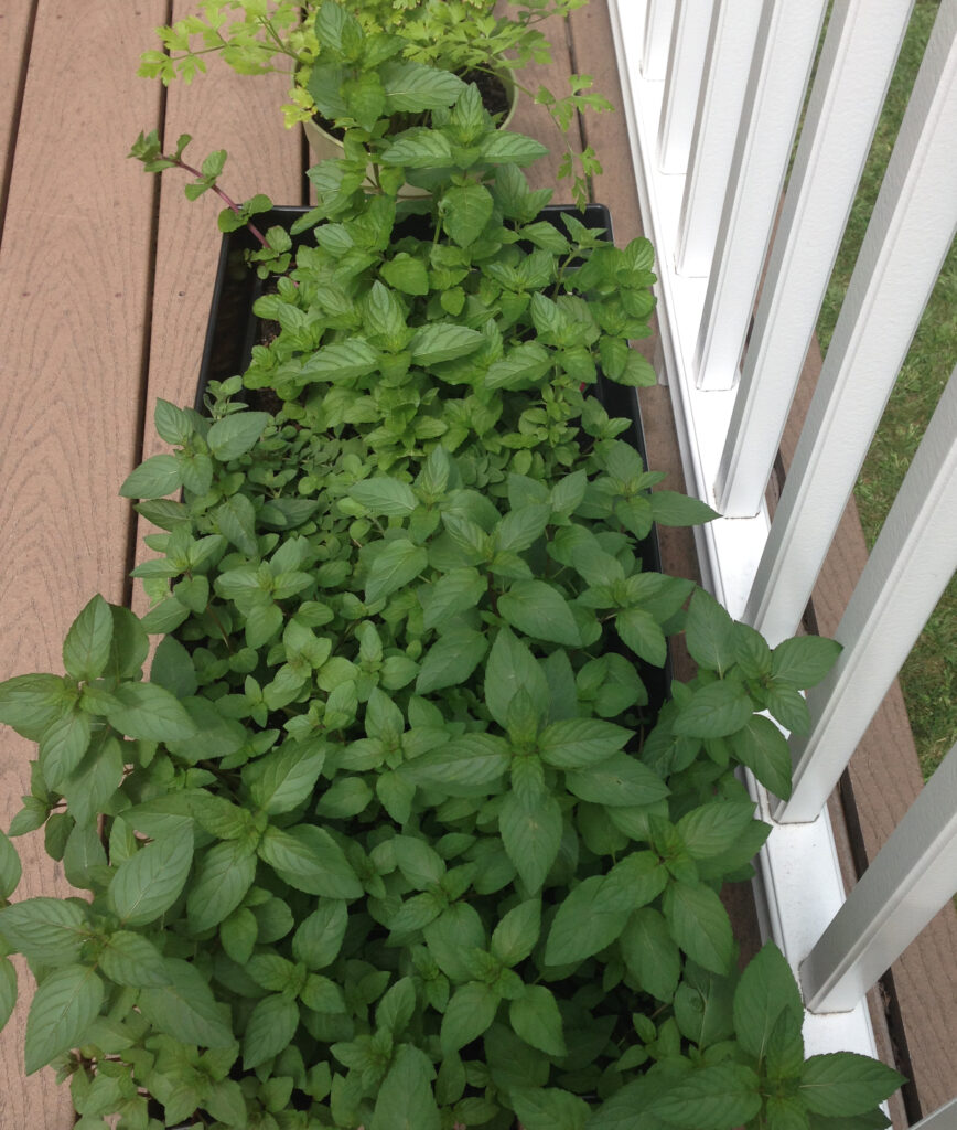 Overhead view of my flourishing herb garden on my deck, including mint, chocolate mint, basil, and oregano