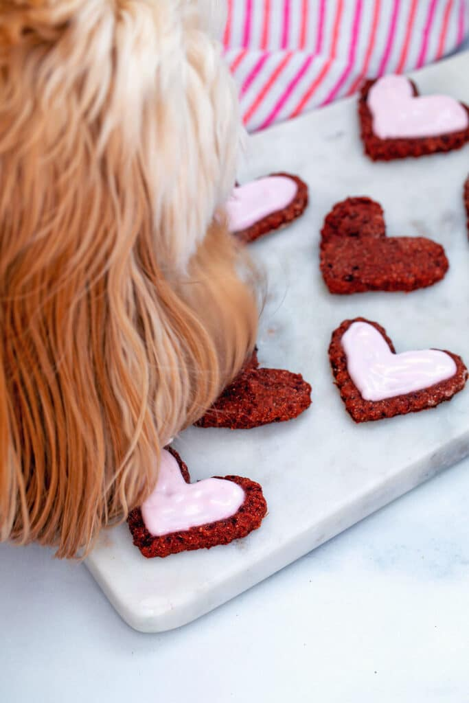Dog eating heart-shaped beet cookie off marble platter