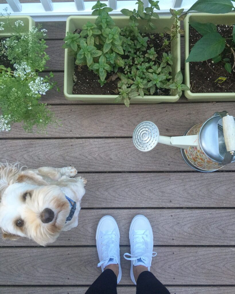 Overhead view of deck herb garden with watering can, labradoodle, and white sneakers