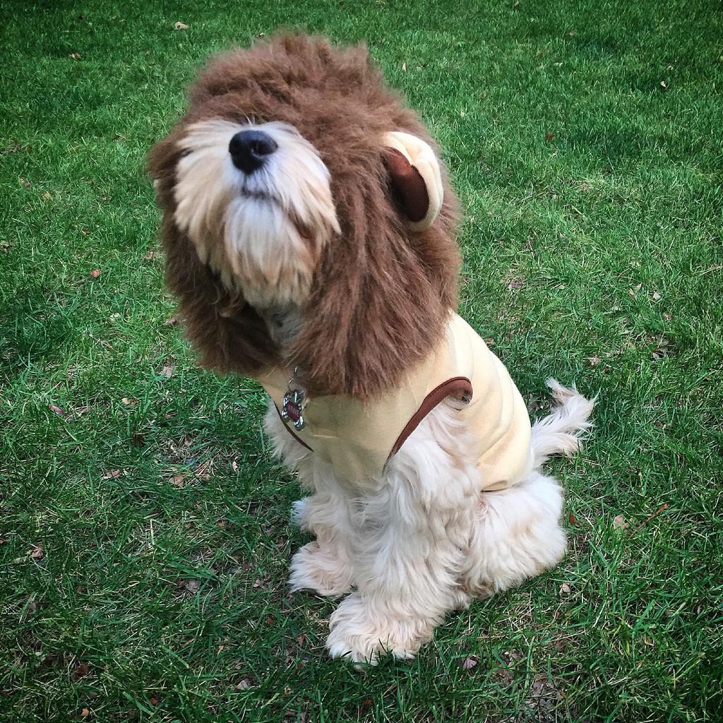 Winnie Labradoodle Puppy Lion Costume