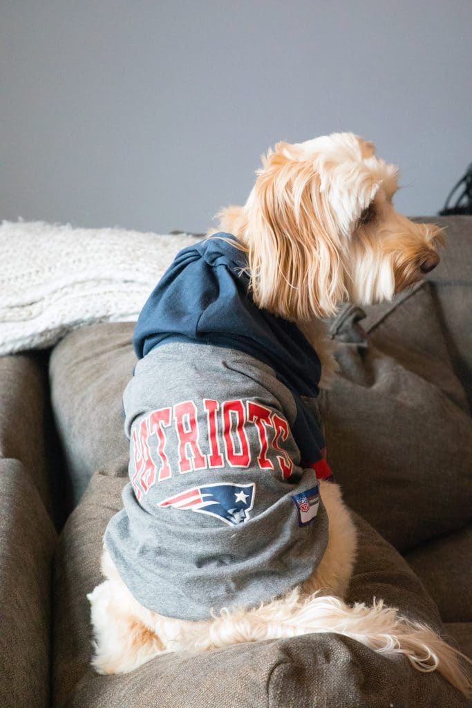 Winnie the Labradoodle in her NFL Patriots jersey
