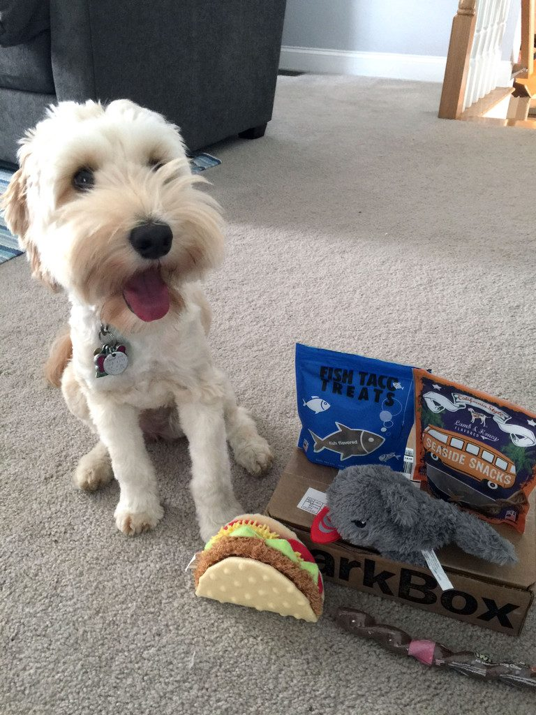 Winnie the Labradoodle and her BarkBox | wearenotmartha.com