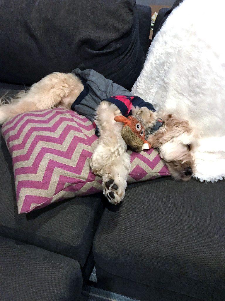 Winnie the Labradoodle sleeping | wearenotmartha.com