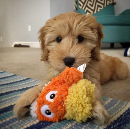 Winnie the Mini Labradoodle Puppy | wearenotmartha.com