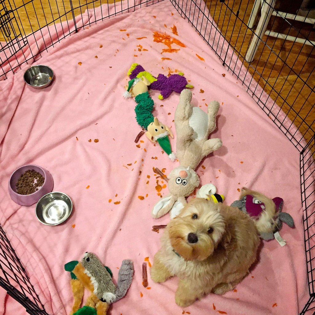 Winnie as a labradoodle puppy sitting in her pen with toys and a carrot that she shredded everywhere