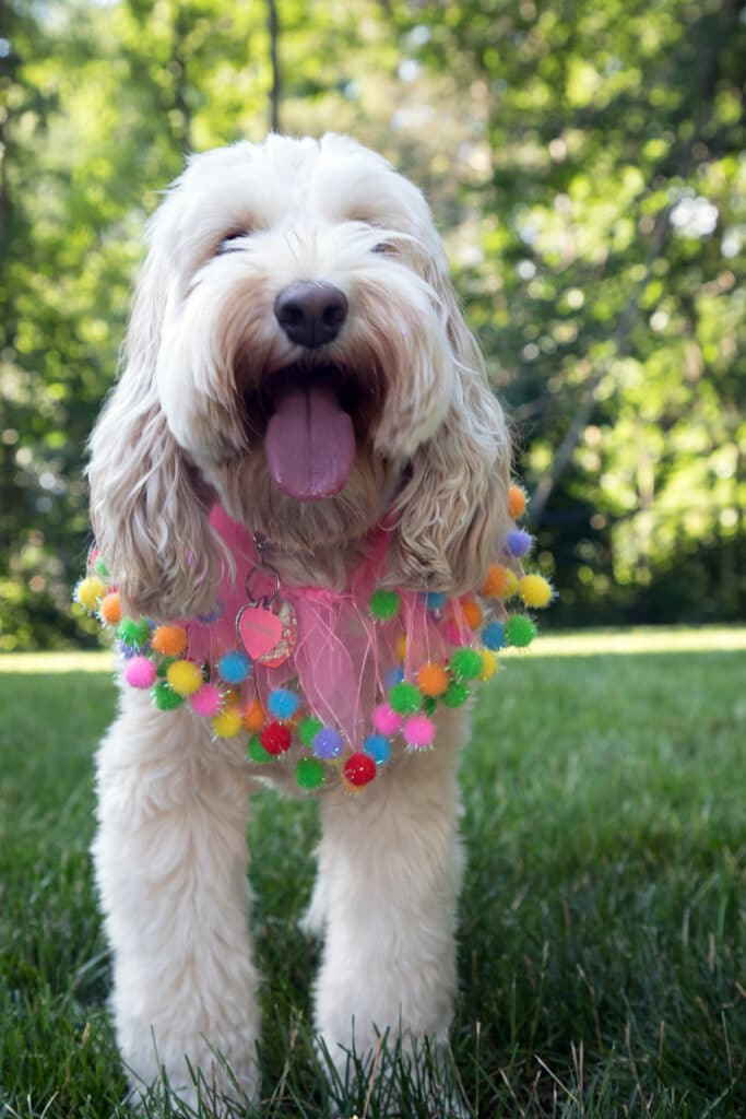 Winnie the labradoodle looking happy with her tongue out and wearing a pink pompom collar