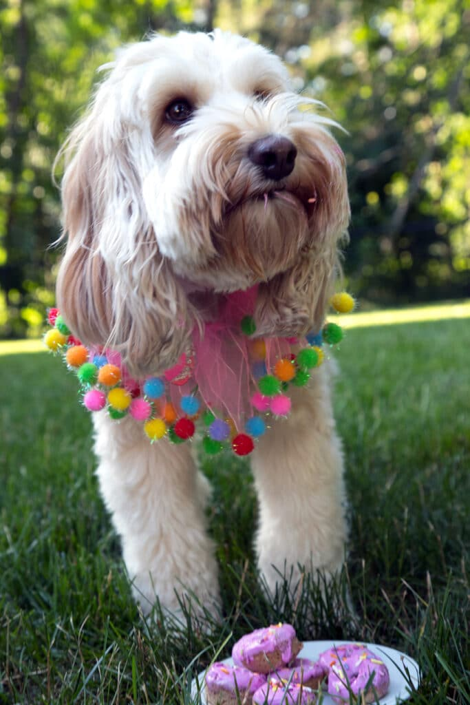 Winnie the labradoodle with pink frosting in her beard