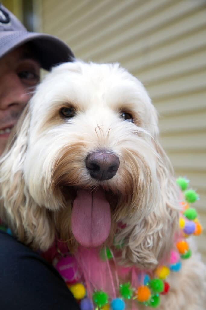 Winnie the Labradoodle with her tongue out looking happy