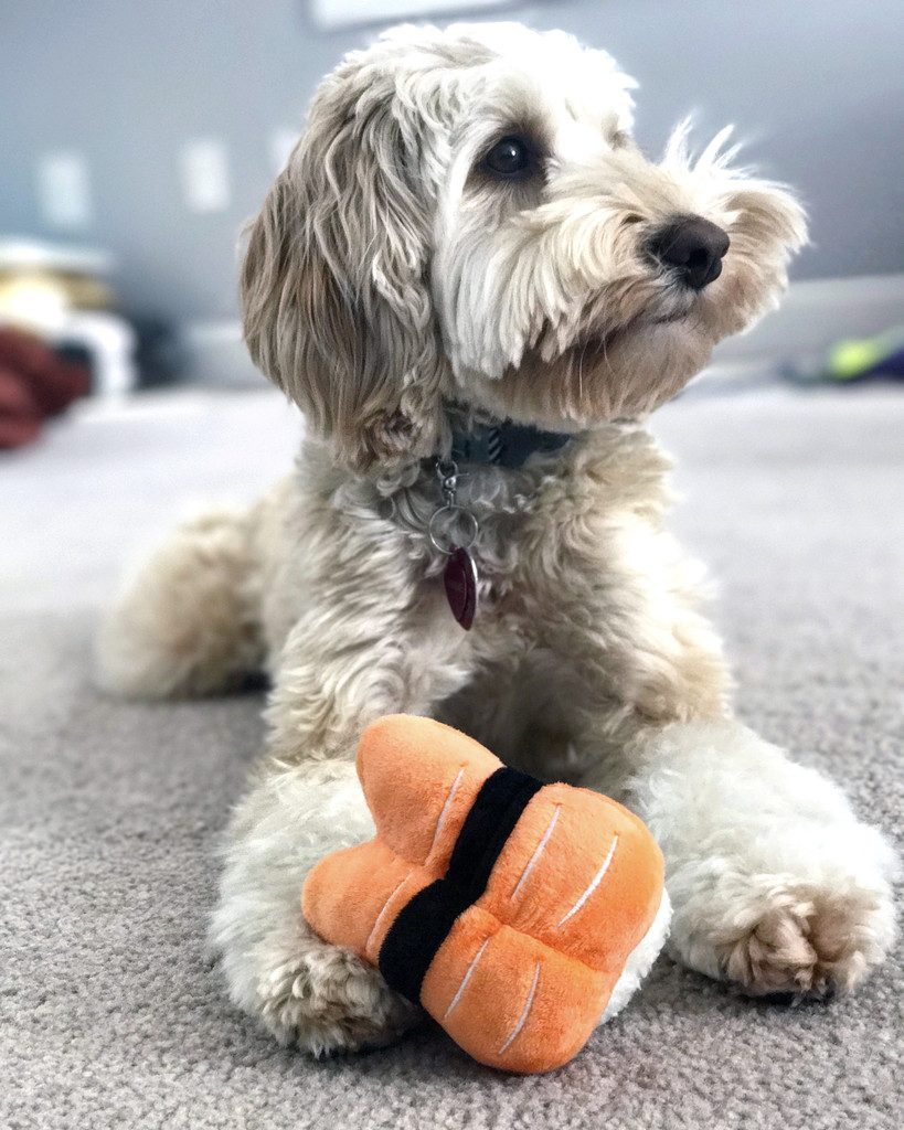 Winnie the Labradoodle with Sushi Toy | wearenotmartha.com