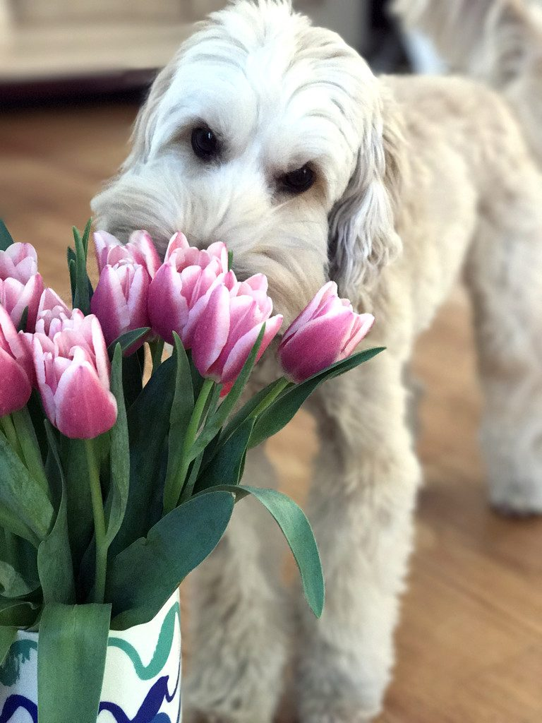 Winnie the Labradoodle Smelling the Tulips | wearenotmartha.com