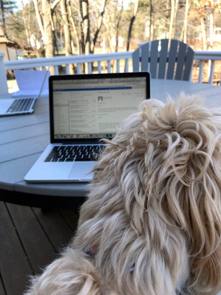 Winnie-Labradoodle-Working