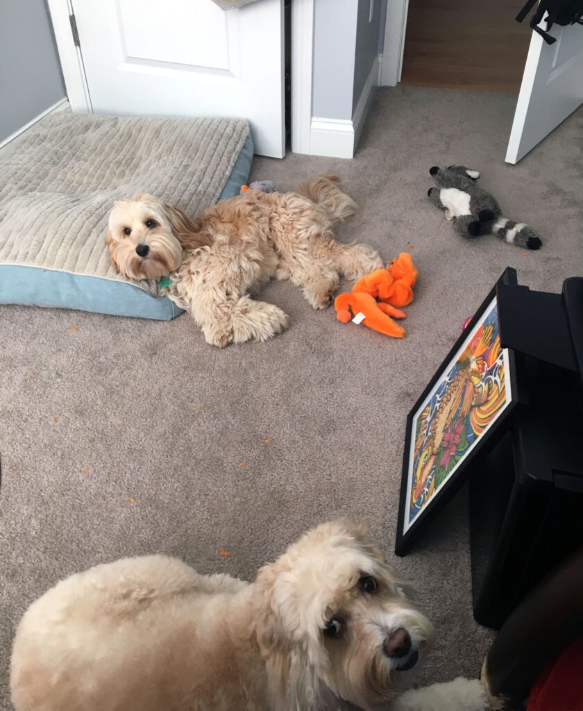 Winnie the Labradoodle Puppy and Mitzi the Cockapoo| wearenotmartha.com