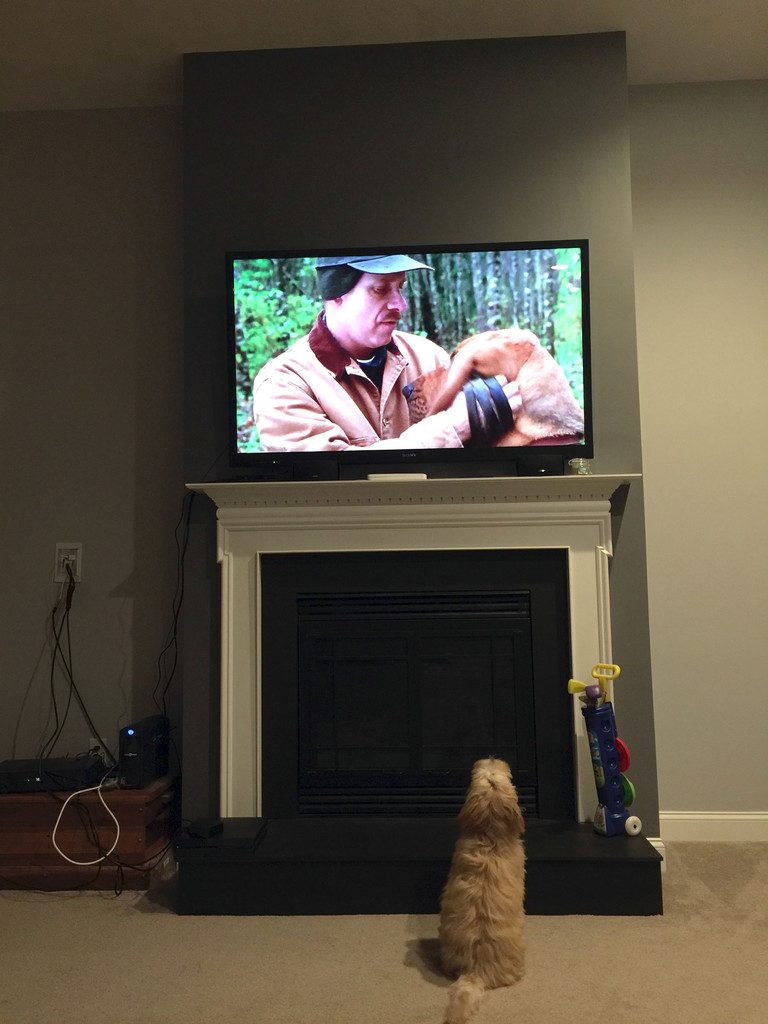 Winnie the Labradoodle Dog watching Best in Show