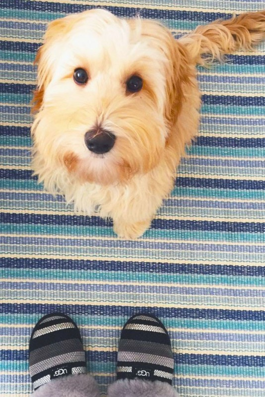 Winnie-the-Labradoodle-t