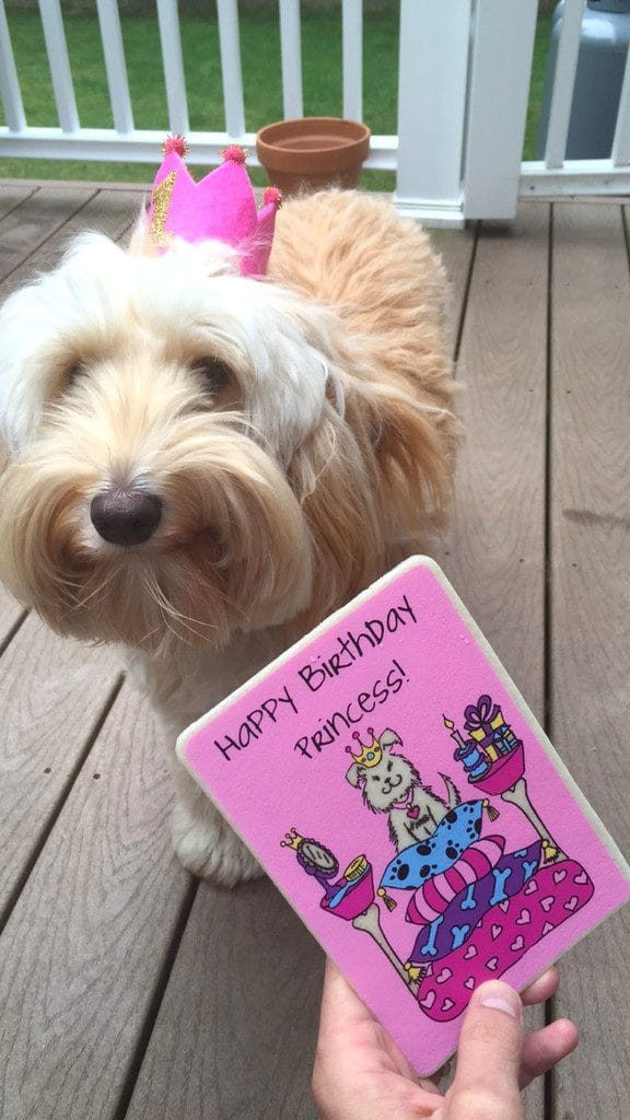 "Winnie the labradoodle looking at her pink edible birthday card while wearing a pink ""1"" birthday crown on the deck outside"