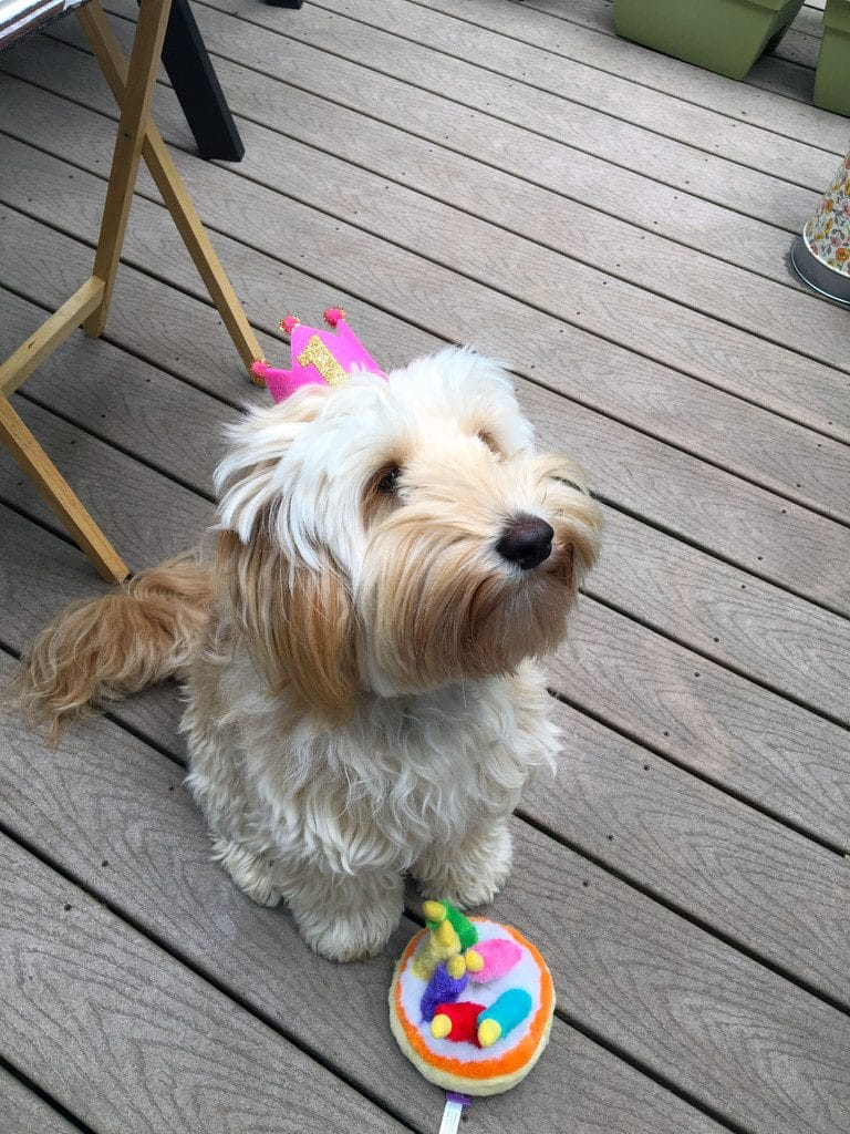 "Winnie the labradoodle celebrating her first birthday, sitting on the deck with a ""1"" pink crown on and a birthday cake dog toy"