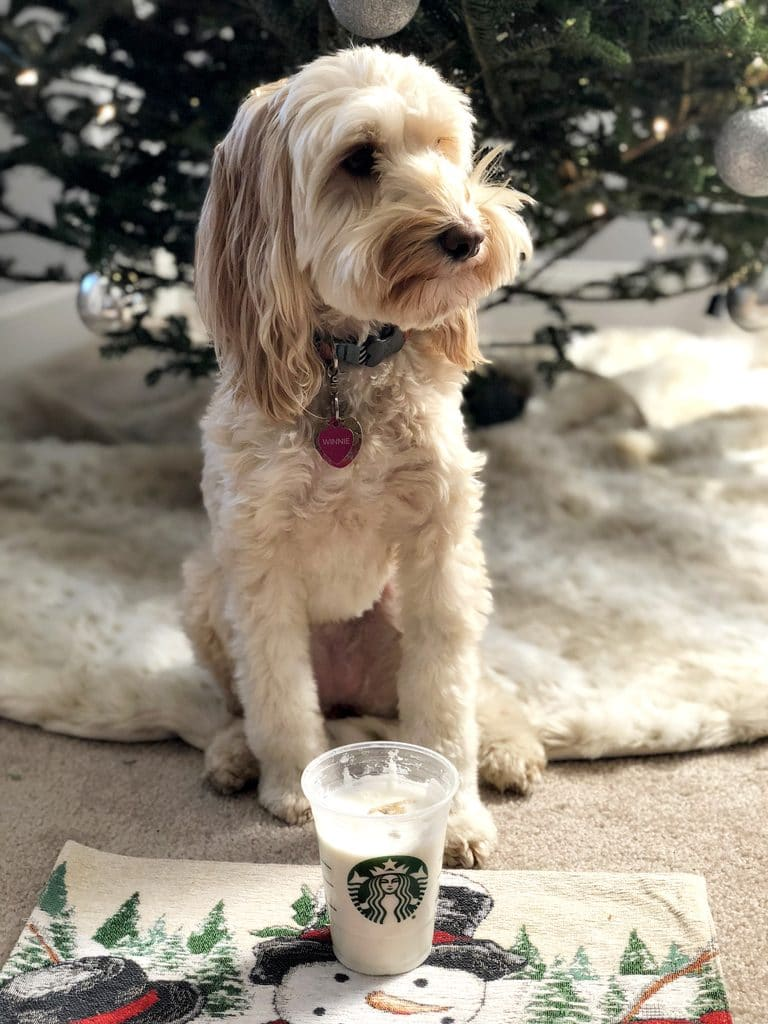 Winnie the Labradoodle enjoying Gingerbread Puppuccinos with Gingerbread Cookies for Dogs for the holidays | wearenotmartha.com